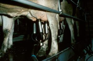 view Dairy cows being milked.