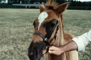 view Foal coat: foal's head with large patch