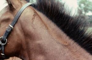 view A foal's neck: whorl mid-crest, feathering