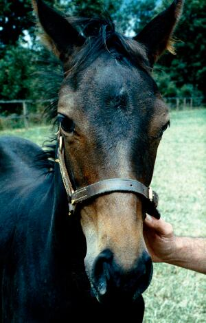 view Head of a Bay foal: the foal looks Bay but in