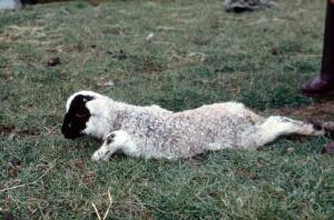 view A swayback lamb.