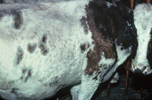 view Cow with muscular dystrophy causing prominence of