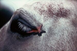 view Pony with eyelid tumour - after freezing