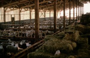 view Ewes housed in a shed.