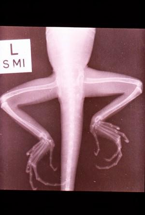 view Nutritional osteodystrophy - x-ray, lizard