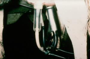 view Milking machine: teat in liner
