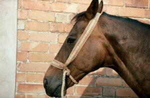 view Incorrectly applied rope halter on horse