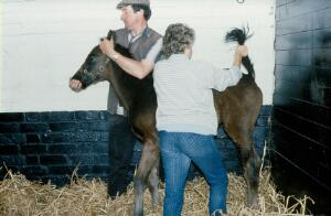 view Foal's tail incorrectly handled