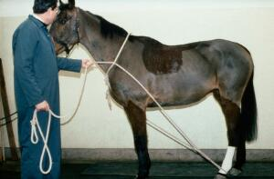view Horse on lead - rope being passed round body