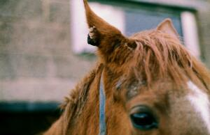 view Horse with a single sarcoid on the ear