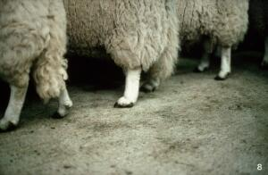 view Welsh Mountain rams: excessive pastern slope.