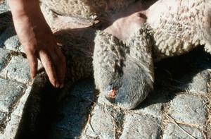 view Ram: sinus opening on surface of scrotum