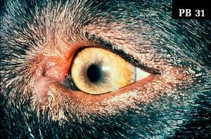 view Canine eye: a tan coloured iris.