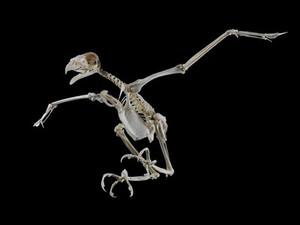 view Complete skeleton of a Harris' hawk (Parabuteo unicinctus)