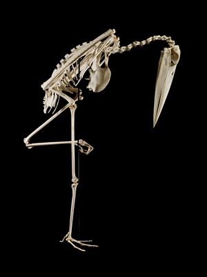 view Complete skeleton of a marabou stork