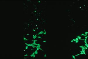 view GFP fluorescence studies, transfected cells