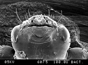 view Pubic louse, mouthparts, SEM.