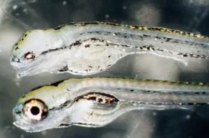 view Zebrafish embryos