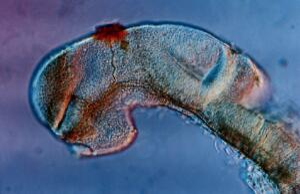view Zebrafish eye development