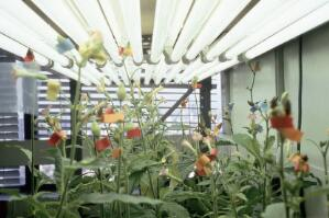 view Transgenic tobacco plants in laboratory