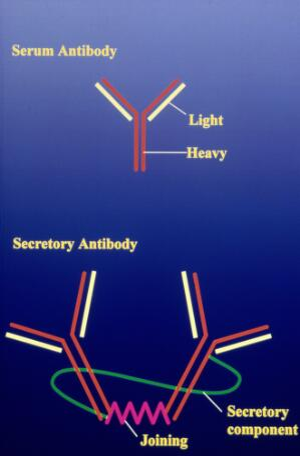 view antibody structure diagram