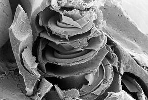 view SEM cochlea, showing organ of Corti