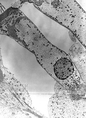 view TEM hair cell of neuromast organ, zebrafish