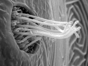 view Fish neuromast organ, close-up