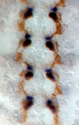 view Interneurons in developing embryo