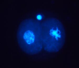 view Location of cyclin in 2-cell human embryo