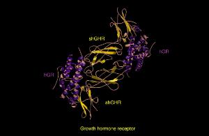 view Growth hormone receptor, molecular model