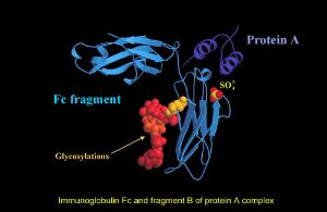 view Immunoglobulin Fc & fragt. B of protein A