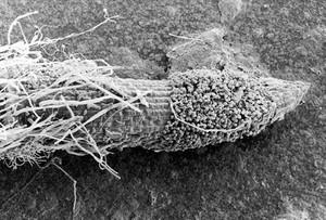 view SEM Pythium spores germinating on root tip