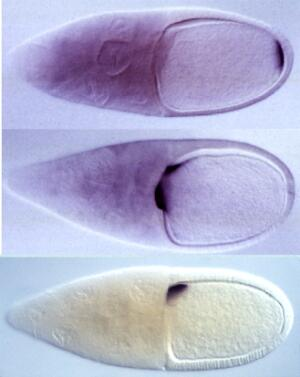 view Drosophila embryo polarity