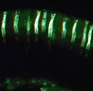 view Cones in the retina - 3D image