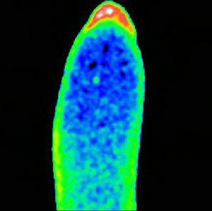 view Calcium/cell cycle changes, Drosophila development