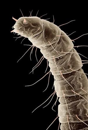 view Flea larva