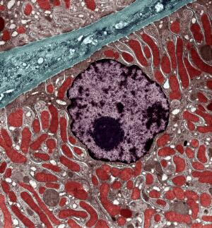 view Kidney cell showing nucleus and mitochondria