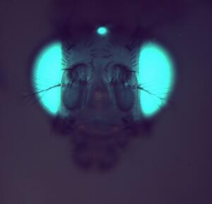 view Transgenic Drosophila expressing GFP in its eyes and ocelli
