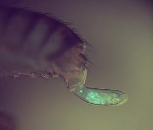 view Drosophila egg expressing GFP being laid