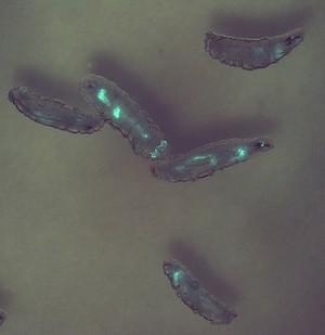 view Transgenic Drosophila larvae expressing GFP in their gut