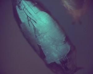 view Transgenic Drosophila pupa expressing GFP