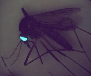 view Transgenic mosquito expresing GFP in its eyes