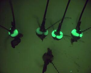 view Mosquito heads with green fluorescent eyes