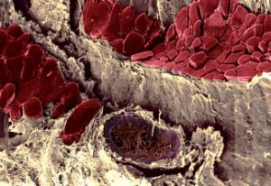 view Cross section of pig thigh muscle