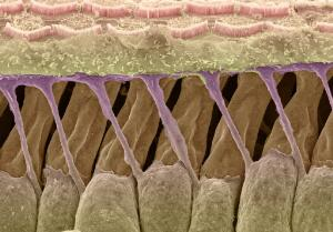 view Outer hair cells and Deiter's cells in the cochlea