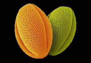 view Peony pollen