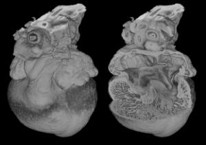 view 3D reconstruction of chick heart