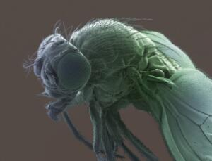 view Fruit fly