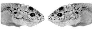 view Mirror symmetric image of cavefish embryo
